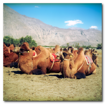 Double Humped Camels Nubra