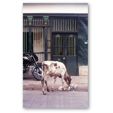 The ubiquitous Indian cow